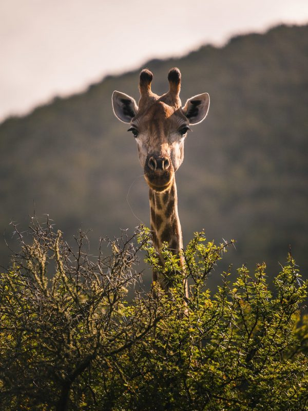 Giraffe peering over tree
