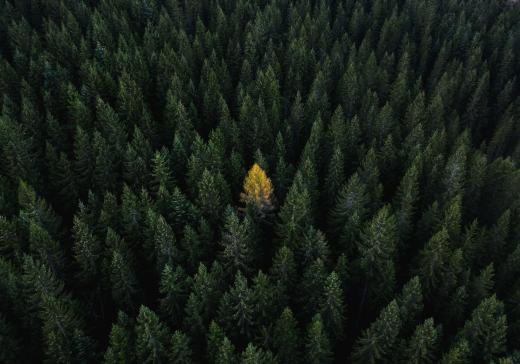 Yellow tree Dolomites Italy